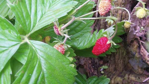 wild-strawberry-plants