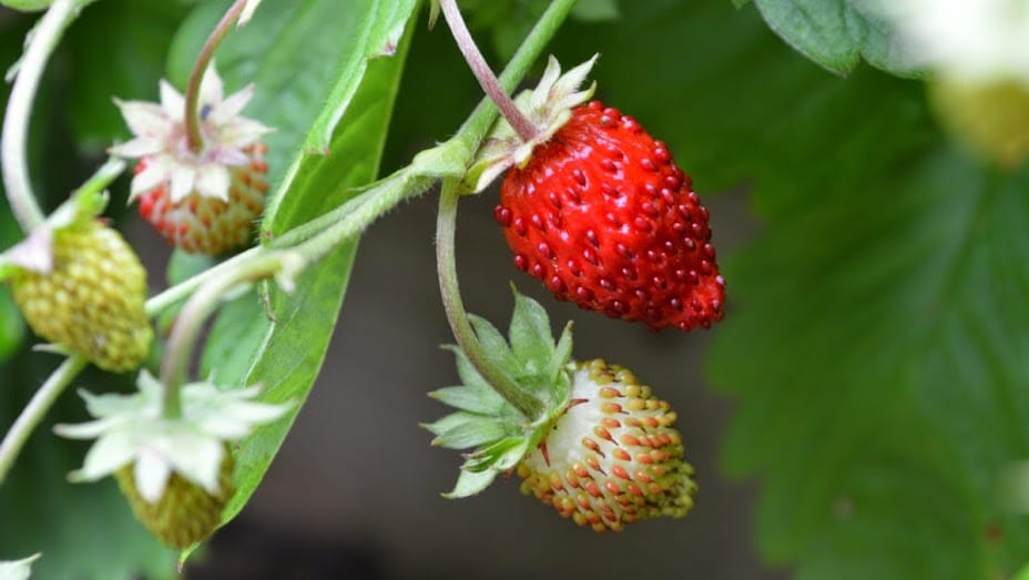 how to grow strawberries, growing strawberries