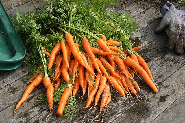 growing carrots, carrots