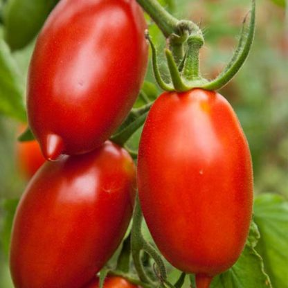 amish tomato seeds