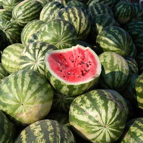 Liveseeds Crimson Sweet Watermelon 10 Finest Seeds