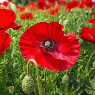 corn poppy, flanders poppy seeds