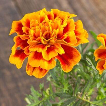 french marigold seeds, marigold seeds