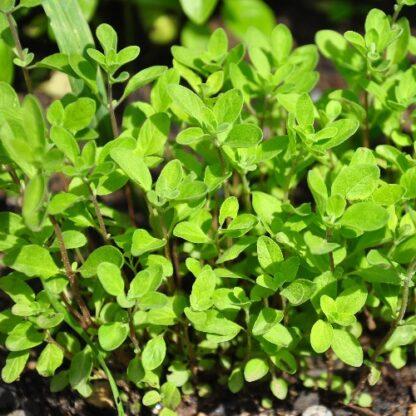 marjoram seeds, sweet marjoram seeds