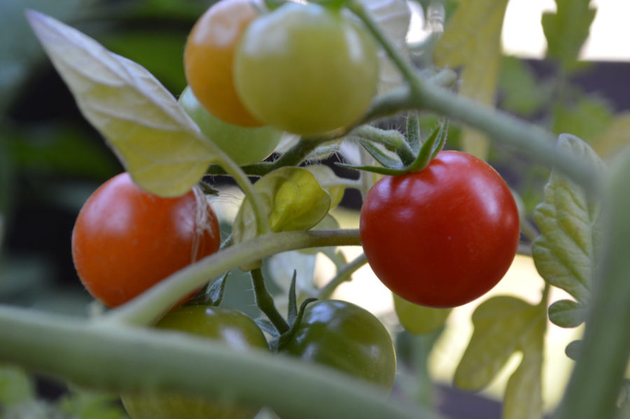 how to grow tomatoes, Indeterminate tomatoes