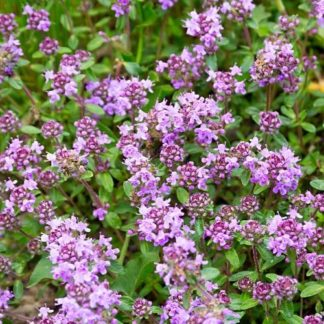 mother of thyme, Thymus Serpyllum, wild thyme seeds, creeping thyme